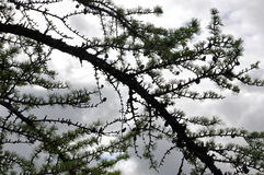 Branch of larch with dark blue sky.  Royalty Free Stock Images