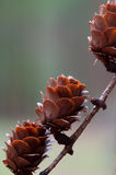 Branch of a larch with fir cones Royalty Free Stock Photography