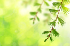 The branch of larch. On green natural background Royalty Free Stock Images