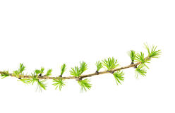 Branch of larch isolated on white background Stock Photo