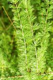 The branch of larch Royalty Free Stock Photography