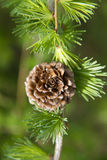 Branch of larch tree with cone Stock Image