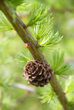 Branch of larch tree with cone Royalty Free Stock Photos