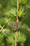 Branch of larch tree with cone Stock Images