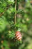 Branch of larch tree with cone Royalty Free Stock Image