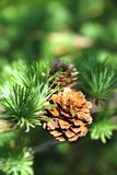 Branch of larch tree with cones Stock Images