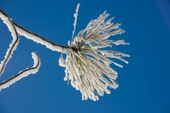 Branch of a larch in winter frost Stock Images