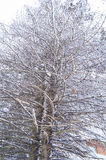 Branch of larch in winter Royalty Free Stock Photography