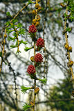 Branch of larch with the young needles and small cones in the sp Royalty Free Stock Photos