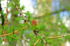 Branch of larch with the young needles and small cones in the sp Royalty Free Stock Photography