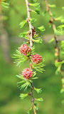 Branch of larch with the young needles and small cones Stock Images