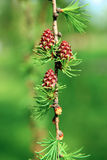 A branch of larch with the young needles and small cones Stock Photo