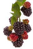Branch large blackberries Royalty Free Stock Image