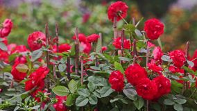 Branch Large Red Roses at Sunlight on Plantation. Branch of large red rose flowers on plantation of flower bed at bright sunlight before Vietnamese new year TET