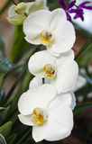 Branch of large white orchids Stock Photo