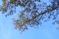 Branch and leaf of pine tree beautiful in the forest on sky background, bottom view.  royalty free stock images