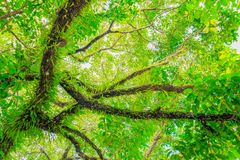 Branch and leaf of tree beautiful in the forest background bottom view Stock Image