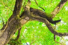 Branch and leaf of tree beautiful in the forest background bottom view Royalty Free Stock Image