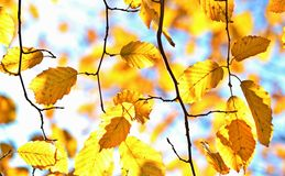 Branch, Leaf, Yellow, Autumn Stock Image