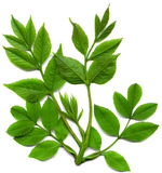 Branch leafs isolated Stock Image