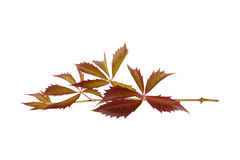 Branch with leaves Royalty Free Stock Photography