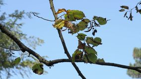 The branch with leaves against the blue sky. The branch with leaves swaying in the wind against the blue sky stock video footage