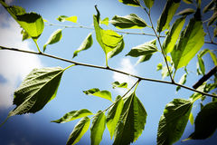 Branch with leaves. Against the sky Royalty Free Stock Photography