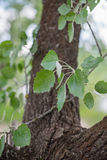 Branch with leaves of aspen & x28;Populus tremula& x29;. Royalty Free Stock Images