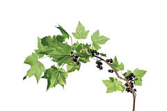 Branch with leaves and berries of blackcurrant Stock Photo