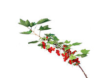Branch with leaves and berries red currant Stock Images