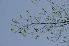 Branch with leaves. A birch branch in autumn, on a blue background with many branches, on which there are some green leaves stock images