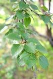 Branch with leaves of a birch subarctic Betula subarctica N.I.Orlova Stock Photos