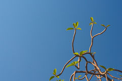 Branch with leaves on the blue sky background Royalty Free Stock Photo