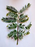 Branch with leaves composed with many folios. Branch of plant leaves with white background. Plants and trees. Leaves of plants. Green leaf. Branch with leaves stock images