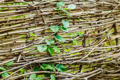 Branch with leaves and dry branches fence Stock Photo