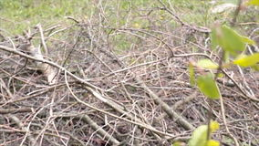 Branch with leaves and dry branches. Focus puller stock video footage