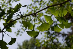 Branch with leaves Ginkgo biloba royalty free stock photos