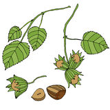 Branch with leaves and ripe, forest, nuts, isolated. royalty free illustration