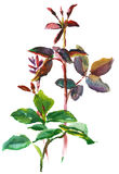 Branch of leaves. Of rose, watercolor, drawing on paper Royalty Free Stock Images