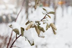 Branch and leaves of rosehip covered with snow and ice in winter, close up, winter background royalty free stock image