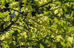 Branch with leaves  shine on sun Stock Images