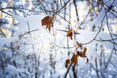 Branch with leaves in snow Stock Image