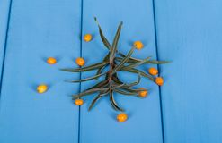 Branch with leaves and some berries of sea buckthorn closeup on. A background of painted wood in blue Royalty Free Stock Photos