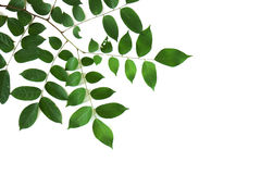 Branch and leaves Royalty Free Stock Images
