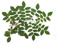 Branch and leaves Royalty Free Stock Photography