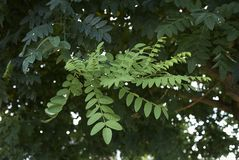 Foliage of Styphnolobium japonicum. Branch with leaves of Styphnolobium japonicum tree Royalty Free Stock Photography