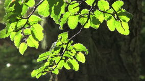 Branch of leaves waving in the wind. Video of branch of leaves waving in the wind stock video