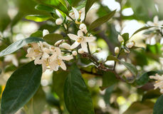Branch with leaves and white  lemon  flowers Stock Images