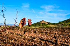 Branch and leaves of withered vineyard, in winter or autumn season. Illness phytopathology. La Rioja Spain stock photography