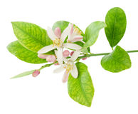 Branch of a lemon tree with flowers. Isolated on a white background Stock Photos